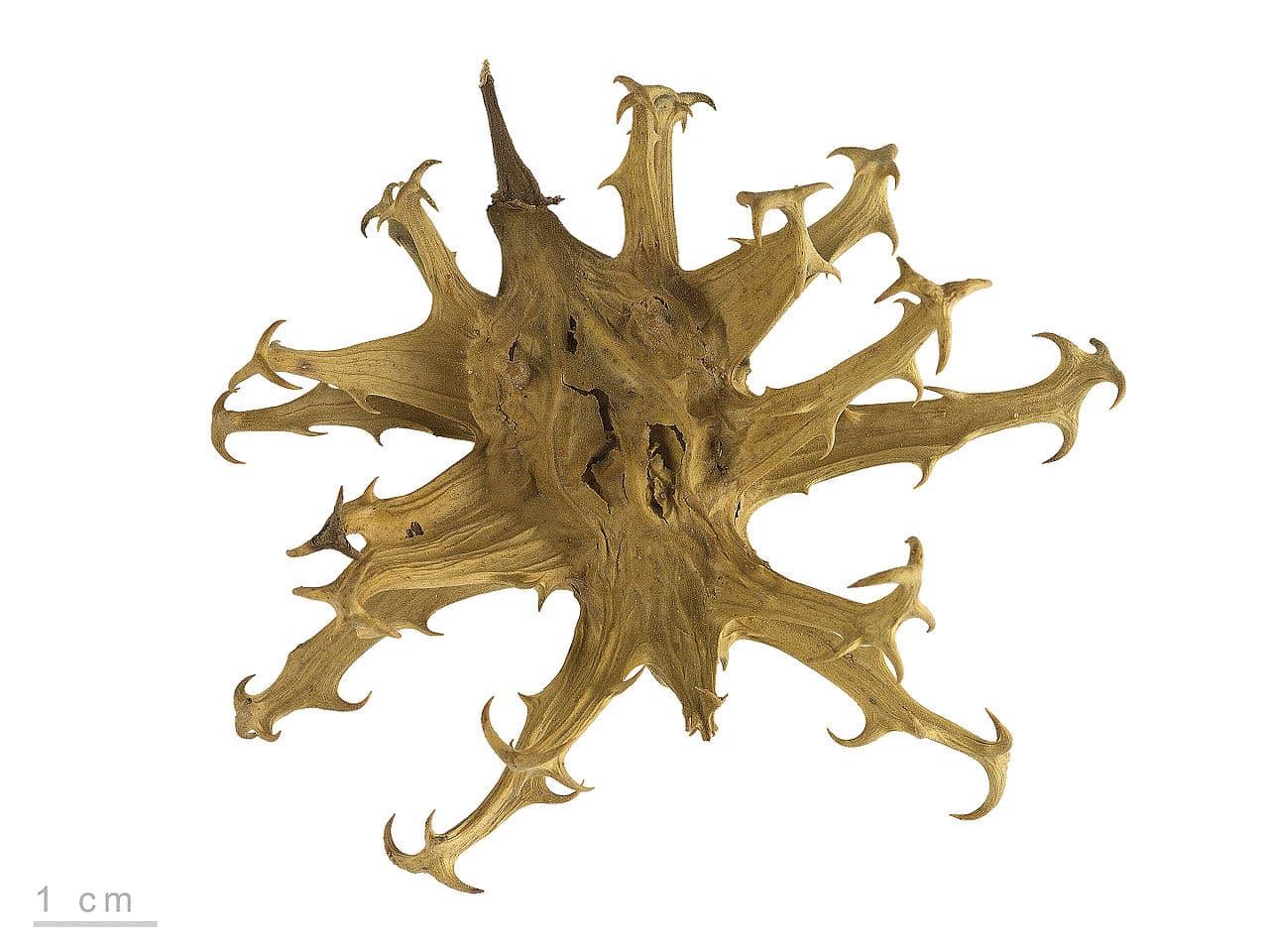 harpagophytum marseille