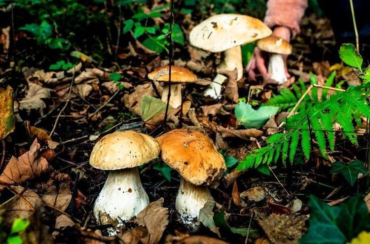 Botanique des champignons